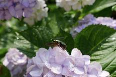 奈良,長谷寺,紫陽花(P1010675,23 mm,F4.5)2015yaotomi_.jpg
