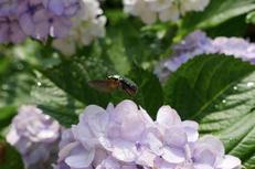 奈良,長谷寺,紫陽花(P1010676,23 mm,F4.5)2015yaotomi_.jpg