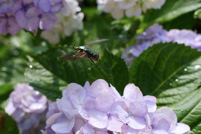 奈良,長谷寺,紫陽花(P1010677,23 mm,F4.5)2015yaotomi_.jpg