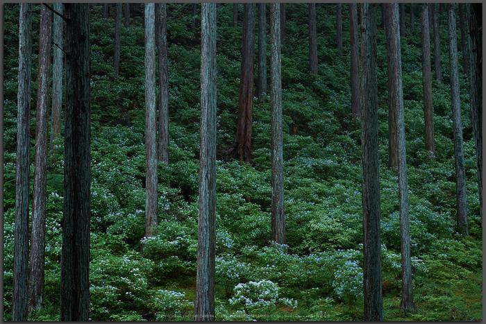 宇陀,小紫陽花(_6100257,40-mm,F4)2015yaotomi_T.jpg