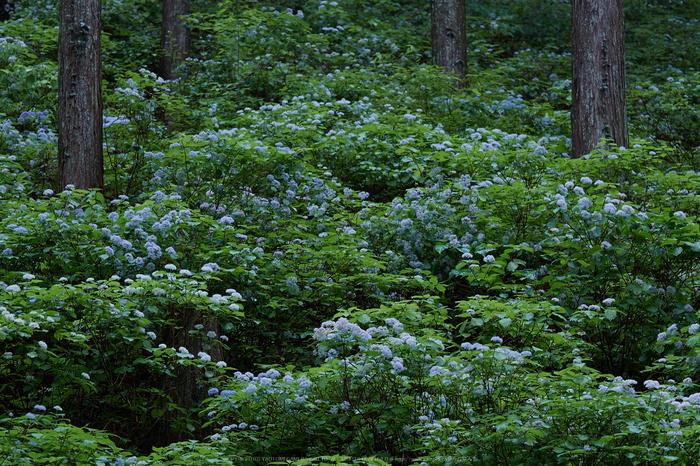 宇陀,小紫陽花(_6100262,79 mm,F5)2015yaotomi_.jpg