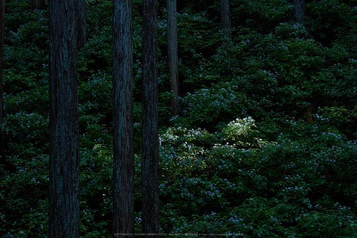 宇陀,小紫陽花(_6100368,62 mm,F4)2015yaotomi_.jpg