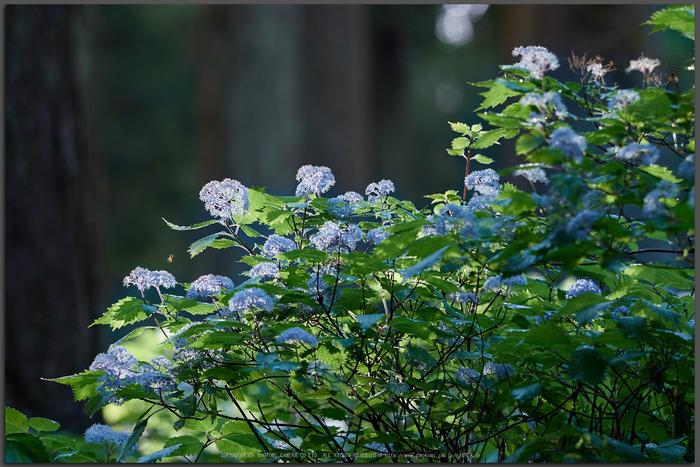 宇陀,小紫陽花(_6100412,150-mm,F3.5)2015yaotomi_T.jpg
