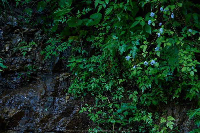 宇陀,小紫陽花(_6100528,40 mm,F4)2015yaotomi_.jpg