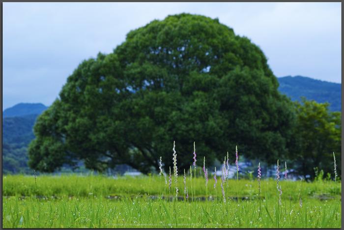 明日香,川原寺(DP3Q1001,F6.3)2015yaotomi_T.jpg