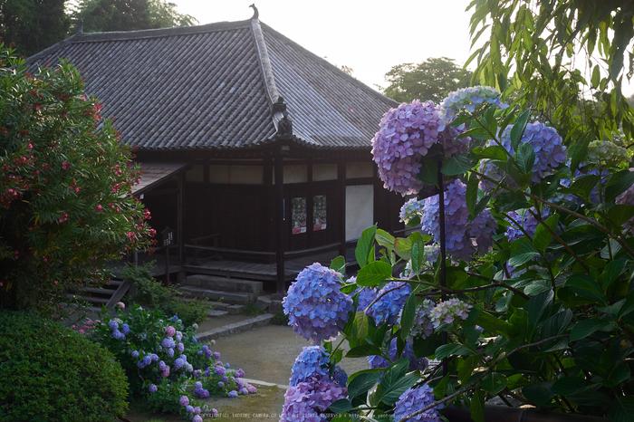 矢田寺,紫陽花(PEM10339,25 mm,F8)2015yaotomi_.jpg