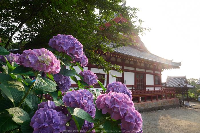 矢田寺,紫陽花(PEM10353,12 mm,F16)2015yaotomi_.jpg