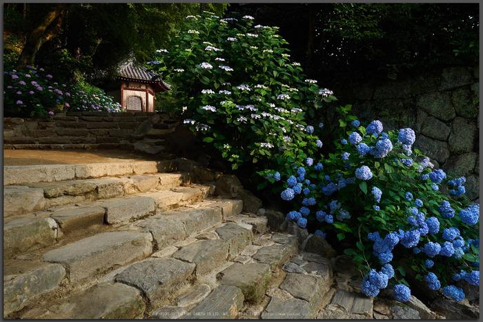 矢田寺,紫陽花(PEM10367,12-mm,F7.1)2015yaotomi_T.jpg