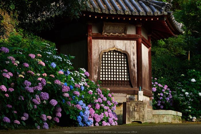 矢田寺,紫陽花(PEM10376,40 mm,F7.1)2015yaotomi_.jpg