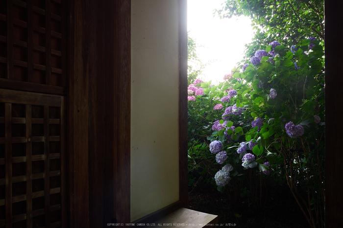 矢田寺,紫陽花(PEM10381,14 mm,F8)2015yaotomi_.jpg