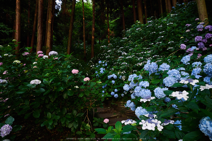 矢田寺,紫陽花(PEM10402,12 mm,F3.2)2015yaotomi_.jpg