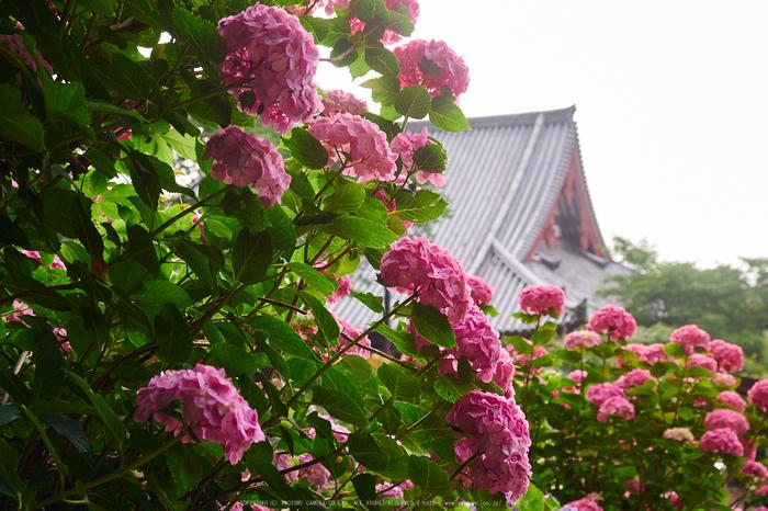 矢田寺,紫陽花(PEM10411,31 mm,F4)2015yaotomi_ 1.jpg