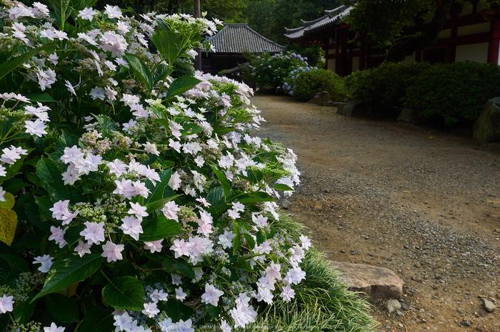 矢田寺,紫陽花(PEM10419,15 mm,F9)2015yaotomi_.jpg