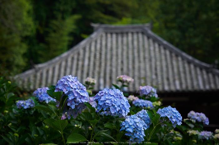 矢田寺,紫陽花(PEM10431,64 mm,F3.5)2015yaotomi_ 1.jpg