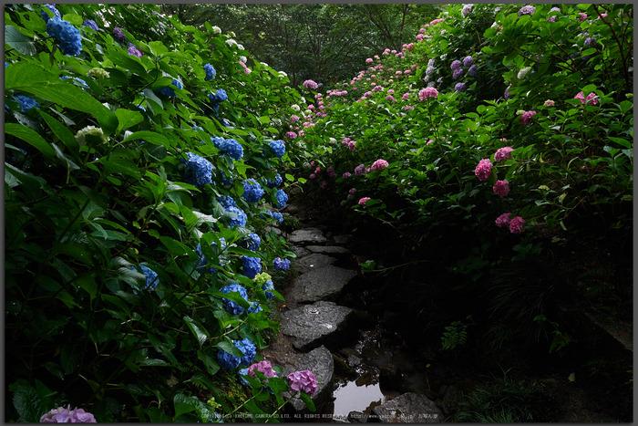 矢田寺,紫陽花(PEM10462,12-mm,F6.3)2015yaotomi_T.jpg