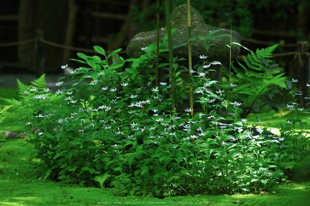 祇王寺,新緑(IMG_0380,100 mm,F2.8)2015yaotomi_.jpg