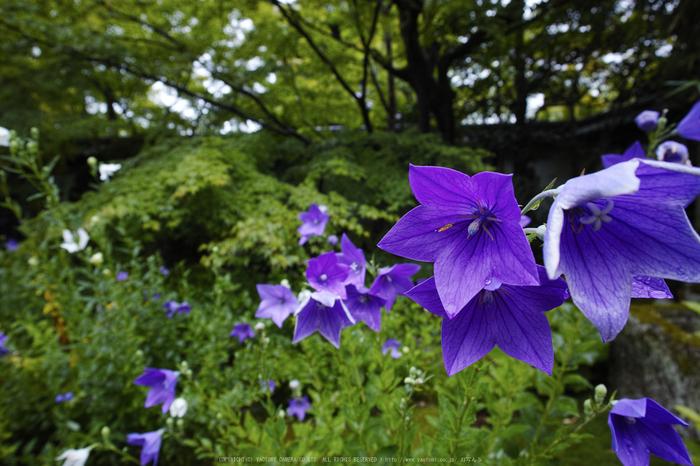 天授庵,夏の庭園(DP0Q0187,5.6,1-80 秒)2015yaotomi_.jpg