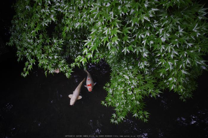 天授庵,夏の庭園(DP0Q0208,4.5,1-30 秒)2015yaotomi_.jpg