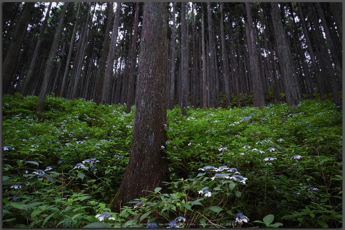 宇陀,山紫陽花(DP0Q0229,F5.6)2015yaotomi_T.jpg