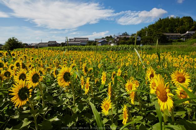 葛城山田,ひまわり(718A0818,24 mm,F7.1)2015yaotomi_.jpg