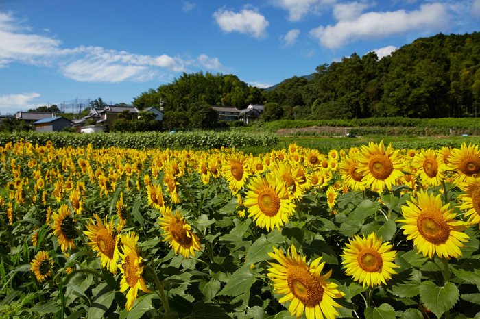 葛城山田,ひまわり(718A0828,24 mm,F10)2015yaotomi_.jpg