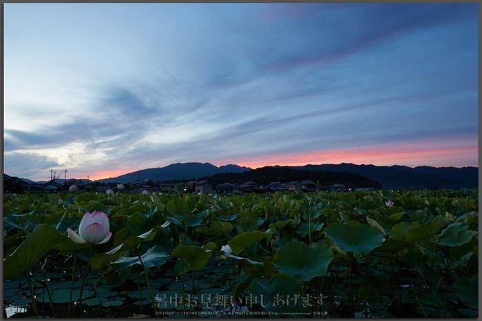 藤原宮跡,蓮(718A0388,26-mm,F16)2015yaotomi_T.jpg