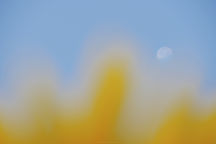葛城山田,ひまわり(P1010741,140 mm,F7.1,iso200)2015yaotomi_.jpg