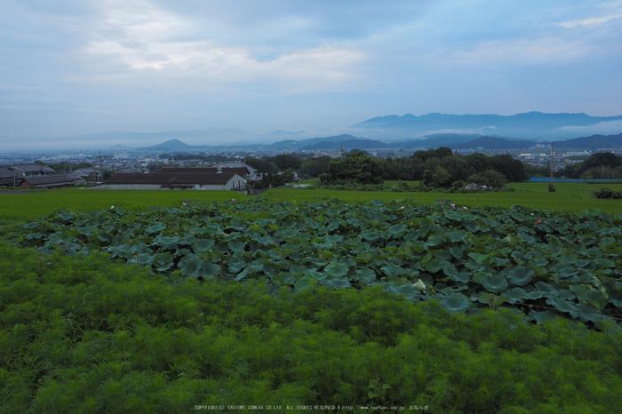 岩湧寺,秋海棠(P9030092f,14 mm,F8,iso200)2015yaotomi_.jpg