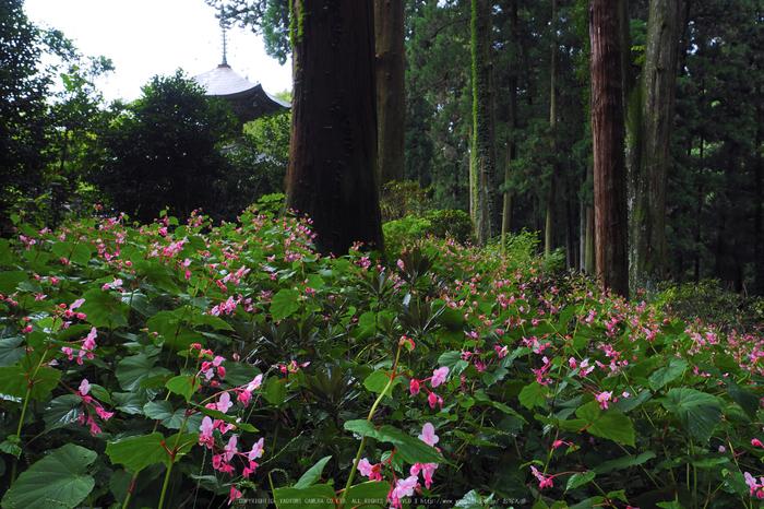 岩湧寺,秋海棠(P9030101,12 mm,F5.6,iso200)2015yaotomi_ 1.jpg