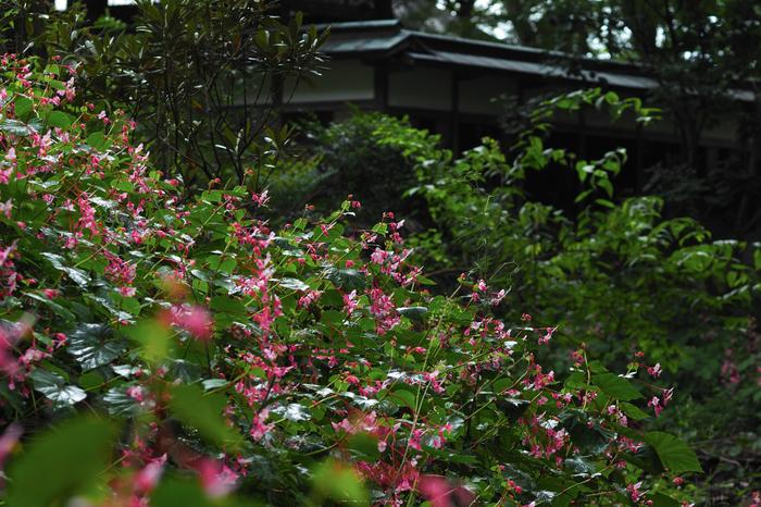 岩湧寺,秋海棠(P9030124,75 mm,F3.2,iso200)2015yaotomi_.jpg