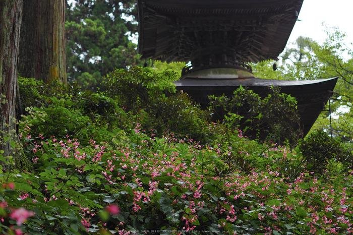 岩湧寺,秋海棠(P9030155,45 mm,F2,iso200)2015yaotomi_.jpg