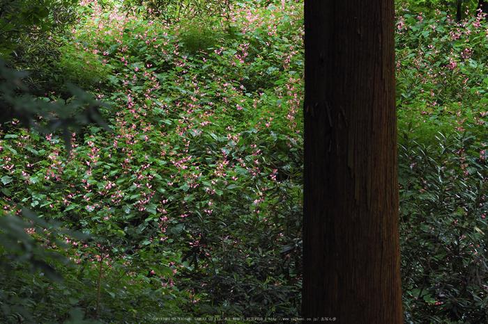 岩湧寺,秋海棠(P9030224,75 mm,F4,iso200)2015yaotomi_ 1.jpg
