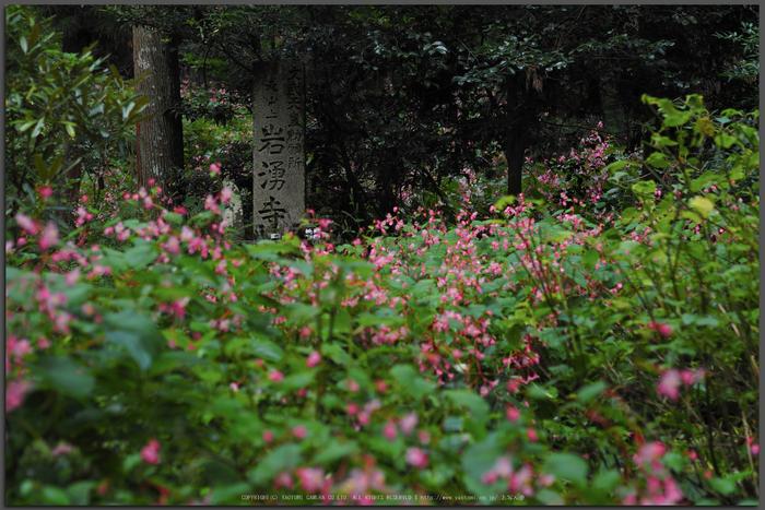 岩湧寺,秋海棠(P9030249,45-mm,F2,iso200)2015yaotomi_T.jpg