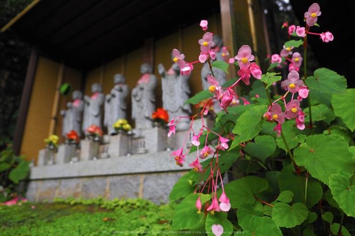 岩湧寺,秋海棠(P9030313,12 mm,F2.5,iso200)2015yaotomi_.jpg