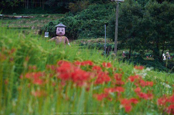明日香,細川,彼岸花(DSCF8439,135 mm,F8)2015yaotomi.jpg