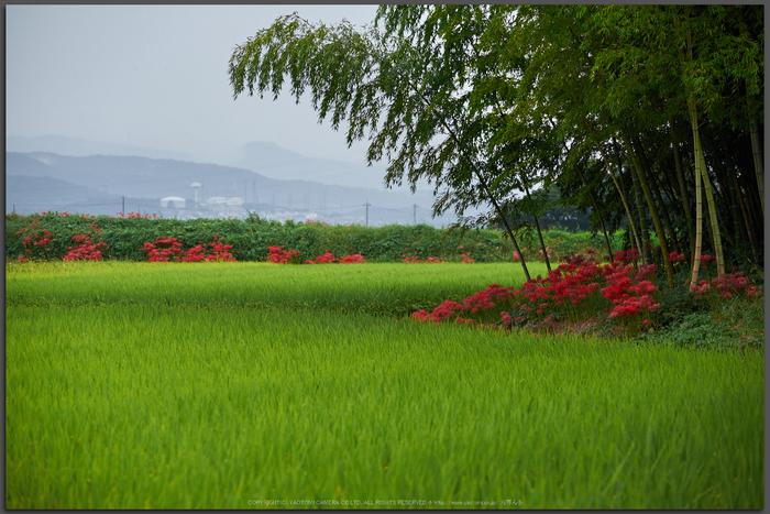 葛城,彼岸花(DSCF3471,87-mm,F3.6,iso400)2015yaotomi_T.jpg