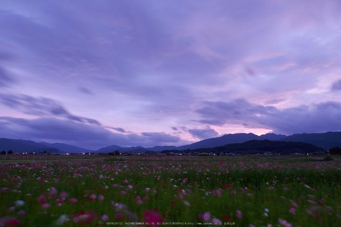 藤原宮跡,コスモス(DSCF3269F,16 mm,F11)2015yaotomi 1.jpg