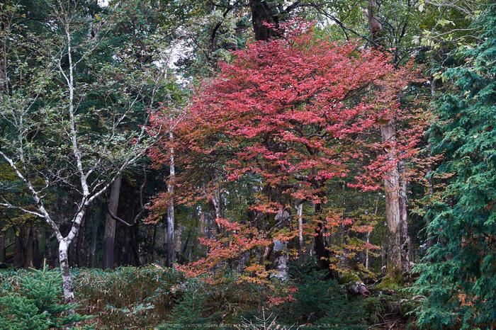 大台ヶ原,紅葉(DSCF4567,44 mm,F4,iso200)2015yaotomi_.jpg