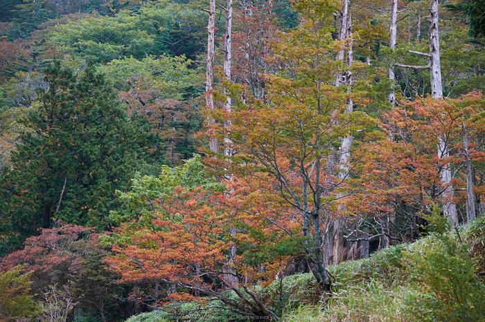 大台ヶ原,紅葉(DSCF4571,87 mm,F4,iso200)2015yaotomi_.jpg