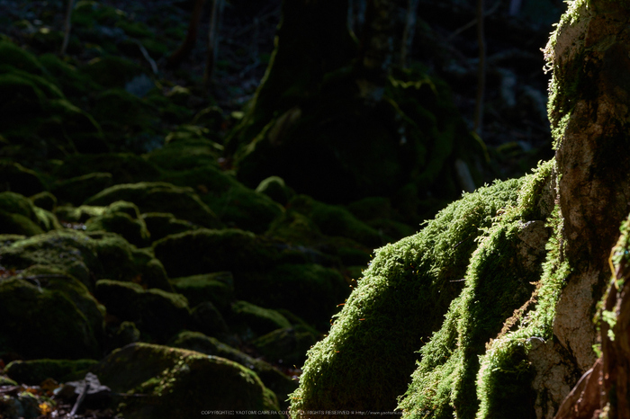 大台ヶ原,紅葉(DSCF5039,77 mm,F11)2015yaotomi_.jpg