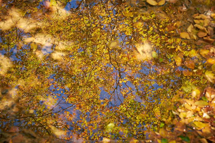 大台ヶ原,紅葉(DSCF5167,43 mm,F7.1)2015yaotomi_.jpg