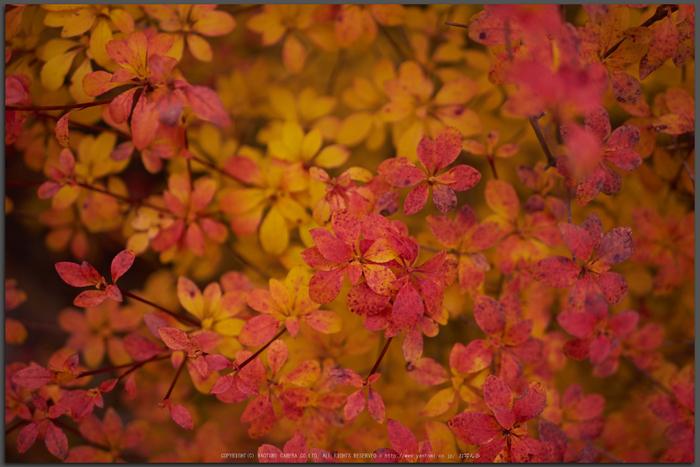 大台ヶ原,紅葉(P1070982,25-mm,F2,iso200)2015yaotomi_T.jpg