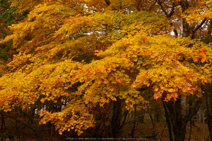 大台ヶ原,紅葉(P1080108,25 mm,F4,iso200)2015yaotomi_ 1.jpg