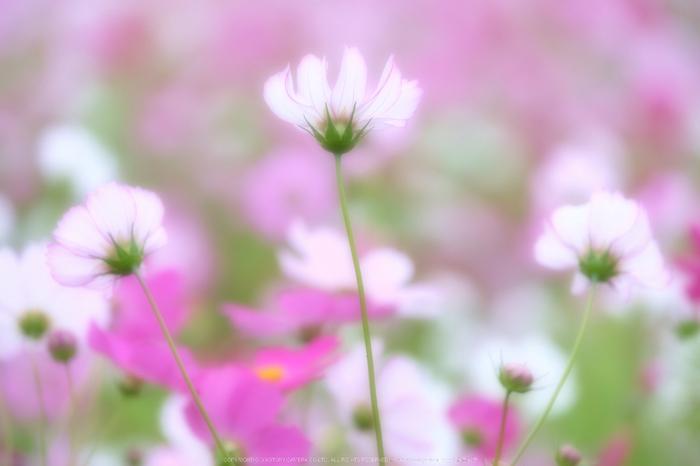 藤原宮跡,コスモス(DSCF4474,106 mm,F2.8,iso200)2015yaotomi_.jpg