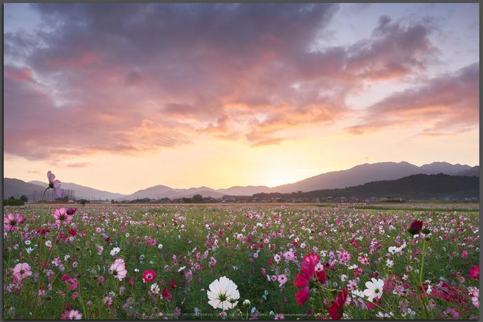 藤原宮跡,コスモス(DSCF4861,20-mm,F16)2015yaotomi_T.jpg
