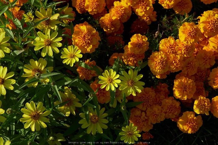 馬見丘陵公園,花フェスタ(P1070472,25 mm,F8,iso200)2015yaotomi_.jpg