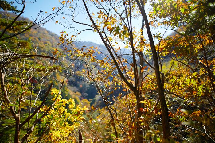 上北山,西原,紅葉(IMG_8476,20 mm,F1.4,iso100)2015yaotomi_.jpg