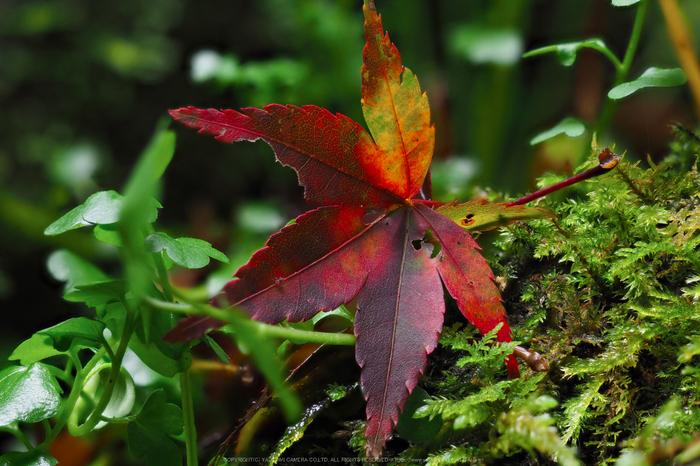 室生寺,紅葉(PB190237,150 mm,F2.8,iso200)2015yaotomi_.jpg