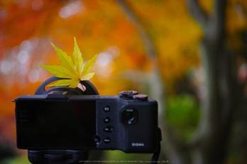 九品寺,紅葉(DP3Q1339,50 mm,F2.8)2015yaotomi_.jpg