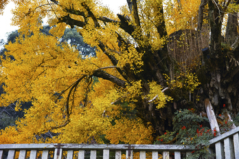 九品寺,紅葉(DP3Q1362,50 mm,F4)2015yaotomi_.jpg